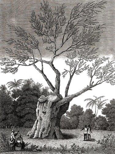 Почти бессмертное дерево не