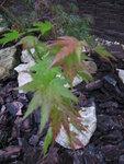 Acer palmatum «Orange Dream». (4).JPG