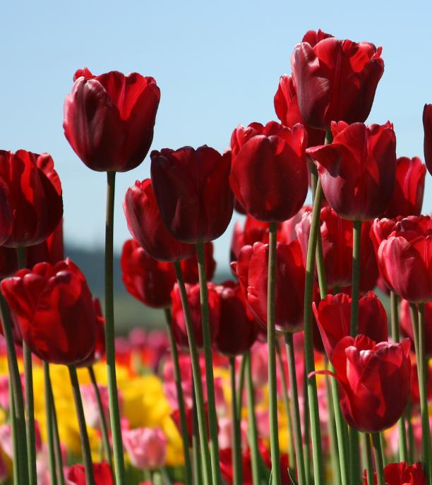 иерусалимский тюльпан фото фотографий