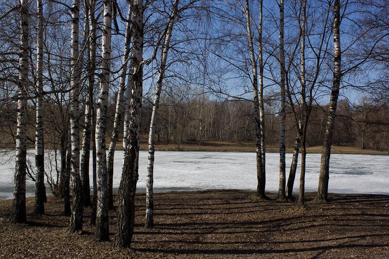 Березы у пруда. Весна