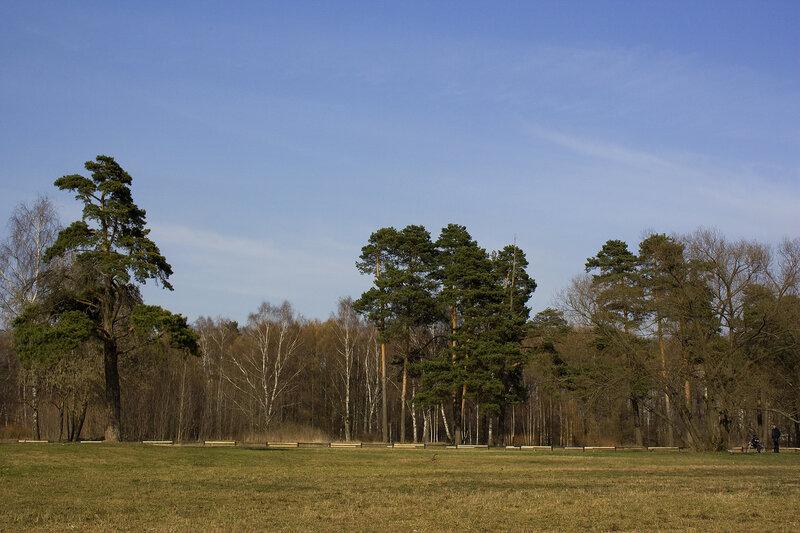 Сосны и поляна