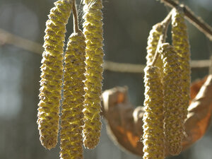 Лещина обыкновенная (Corylus avellana)