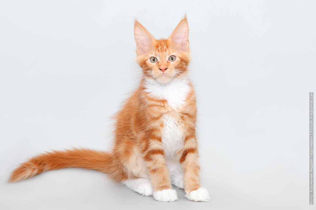 фото мейн кун котенок