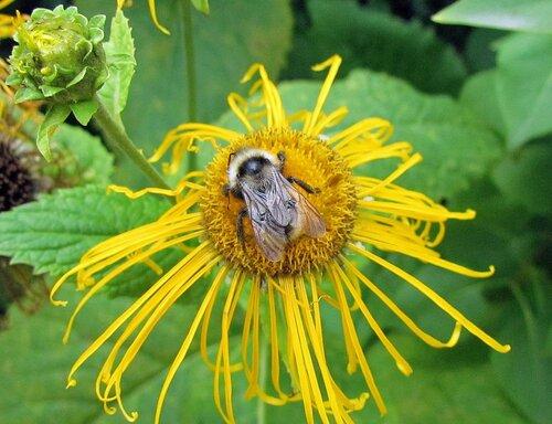 Любимый цветок шмелей