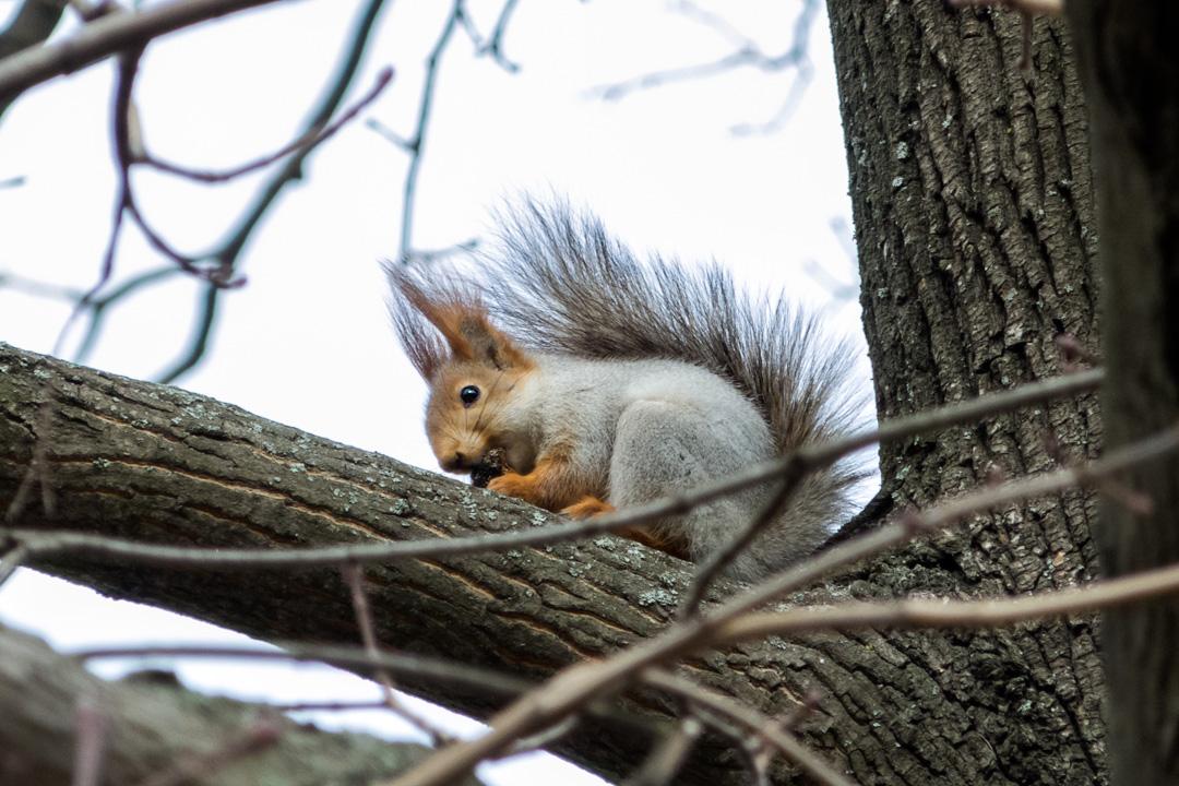 белка - squirrel - білка