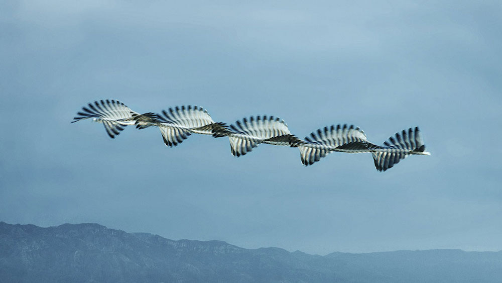 Unusual Composite Images of Birds in Flight Inspired by an 150-Year-Old Technique