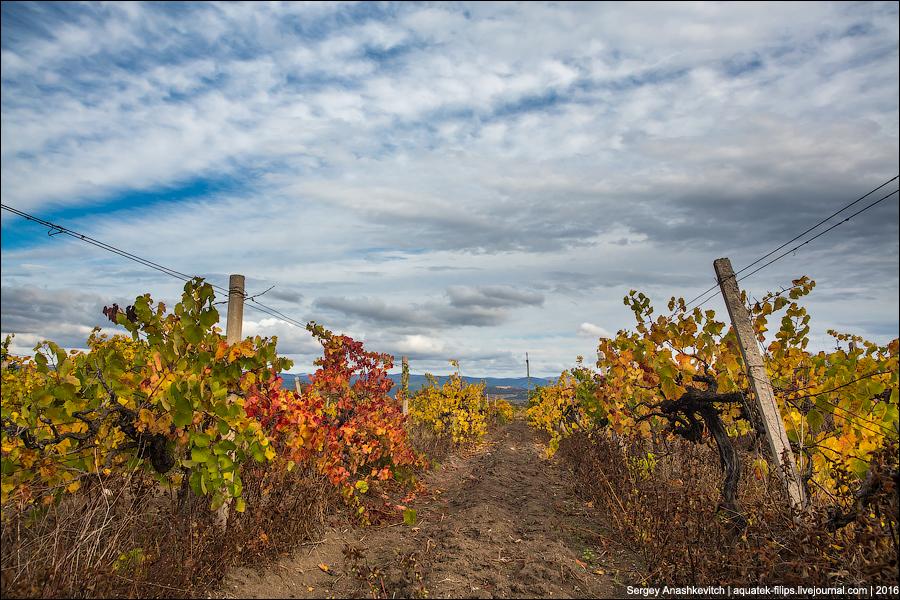 Осень на крымских виноградниках