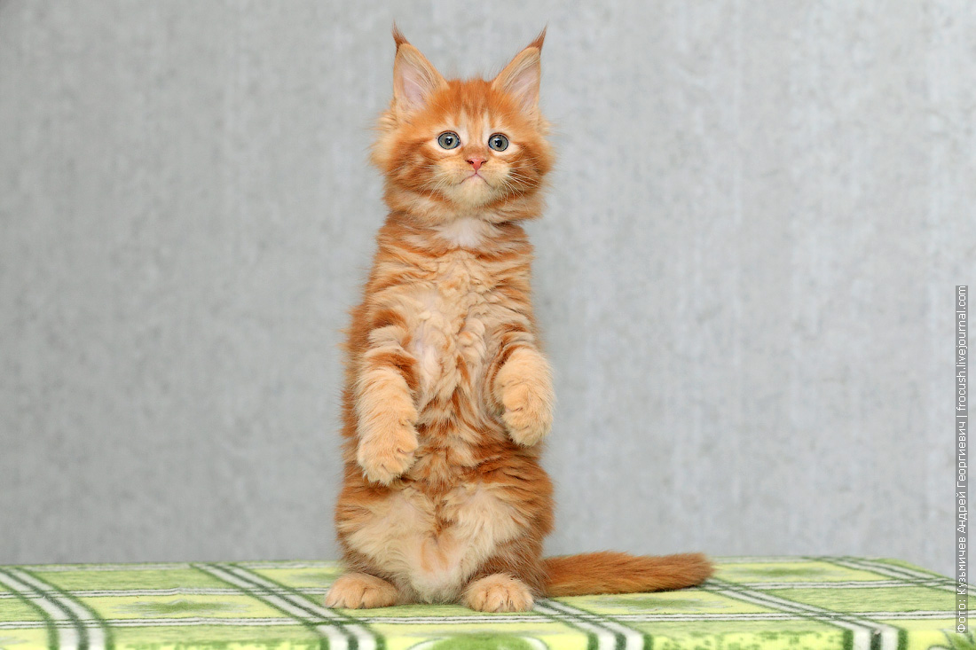 питомник в Москве котенок мейн кун