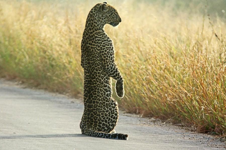 Meerkat Leopard