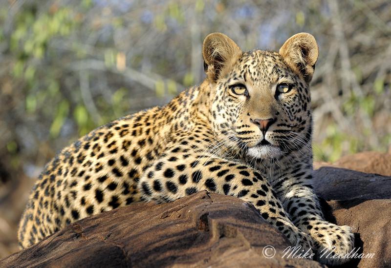 leopard__panthera_pardus__south_africa_july_2008_302.jpg
