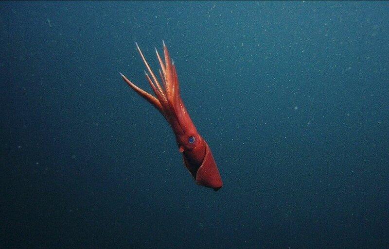 Видео: цветовые танцы гигантских кальмаров Гумбольдта у берегов Перу