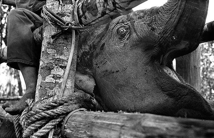6. Молодой слон кричит, пока его тащат, тайско-бирманская граница.