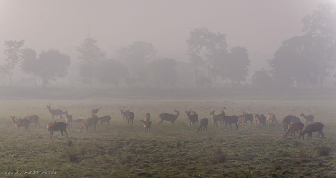 Фото 12. Олени в заповеднике Казиранга в Индии. 1/1000, -0.67, 5.6, 200, 240.