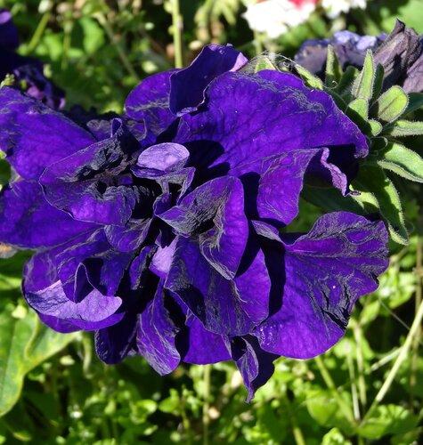 Синий бархат(петуния)