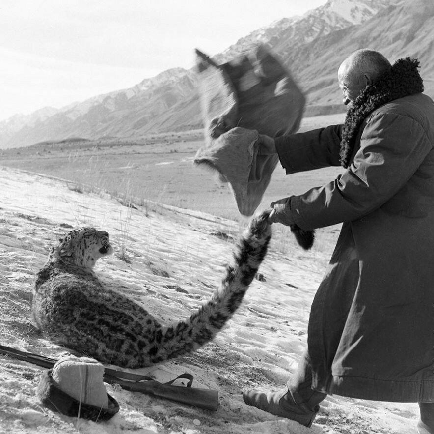 Охотник набрасывает мешок на барса, попавшего в капкан