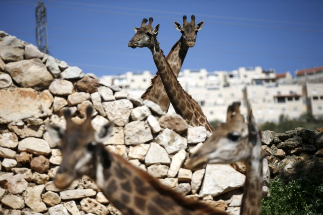 Giraffes stand in their enclosure at Jerusalem's Biblical Zoo February 24, 2016. (Photo by Rone