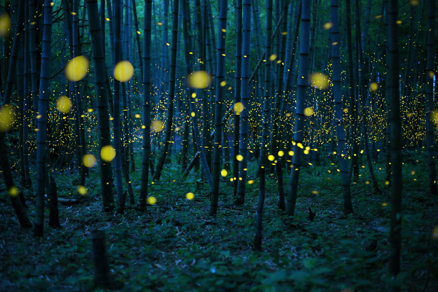 Enchanted Bamboo Forest . Firefly season comes around in Japan at the beginning of the rainy season.