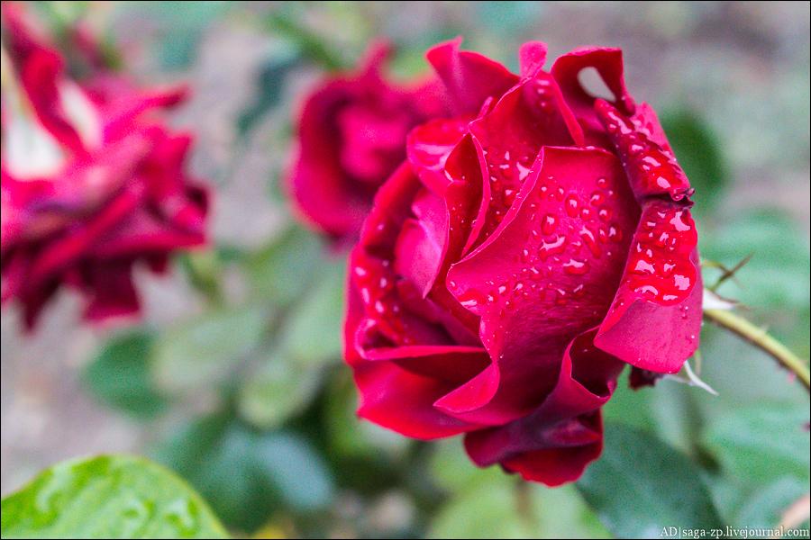 Crimea. Roses of the Nikitsky Gardens/Крым. Никитский ботанический сад