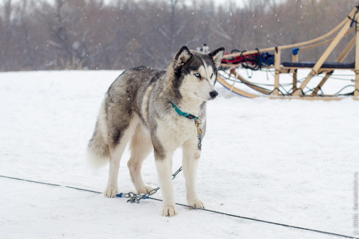 Питомник сибирских хаски DogWinter 1