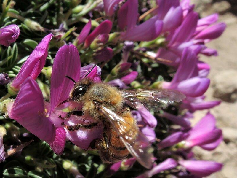 пчела сбирает нектар в Иране.JPG