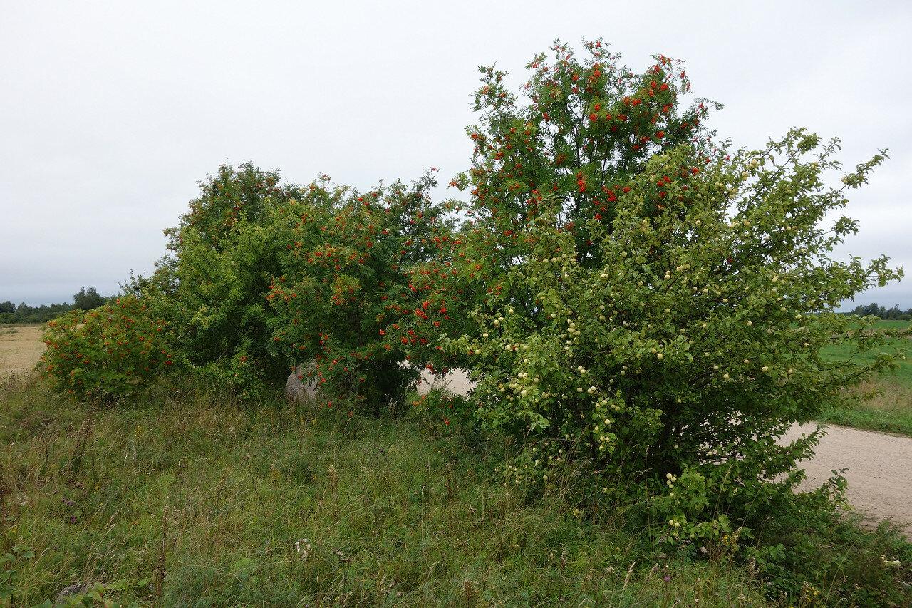 рябина и те самые сочные яблоки