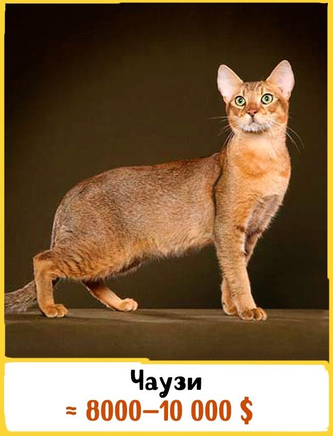 © www.catbreedselector.com  Эта одна изсамых редких пород кошек появилась благодаря скрещиван