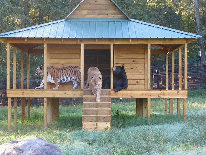 Невероятная дружба льва, тигра и медведя, которые живут вместе уже 15 лет (16 фото)