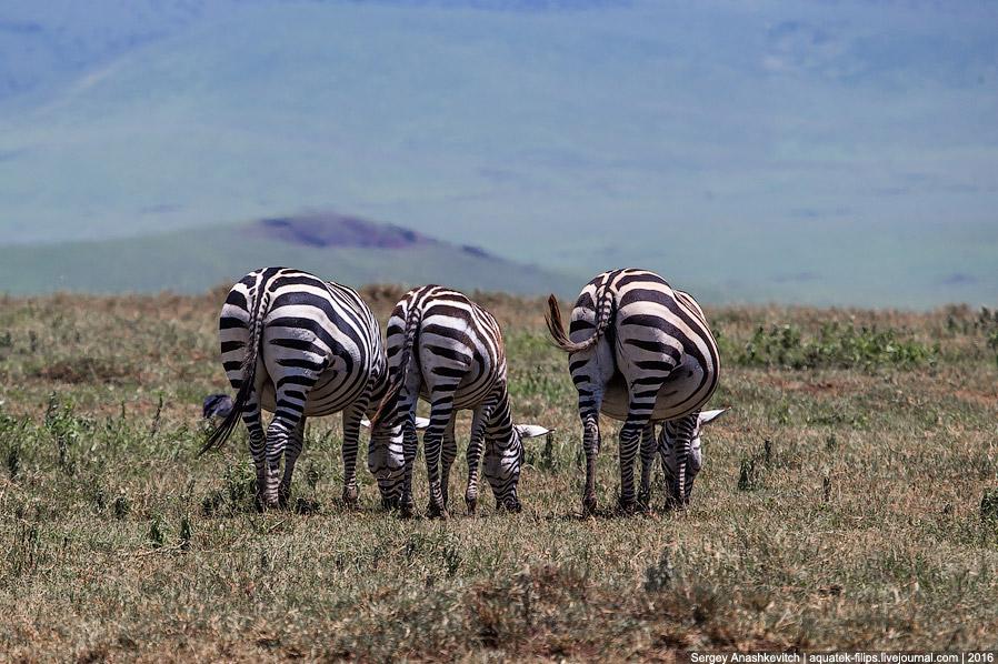 32. А еще зебры интересны тем, что самец с самкой очень любят «обниматься». Они стоят мордой к
