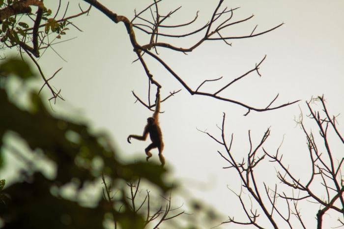 Обезьяний заповедник Хуллонгапар, Ассам В северо-восточном штате Ассам можно найти небольшой участок