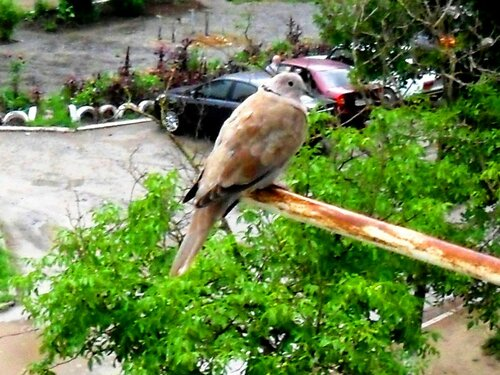 Птица-голубь, под дождём ... SAM_0141.JPG