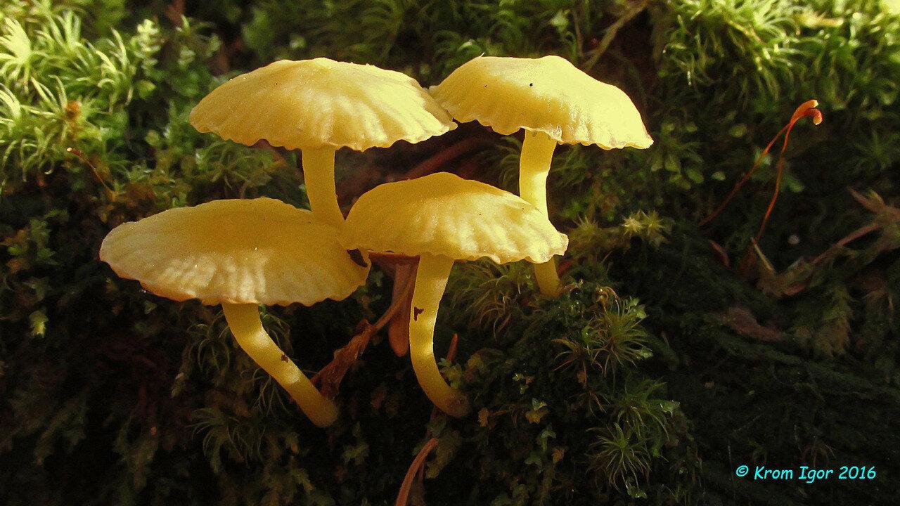 Лихеномфалия альпийская (Lichenomphalia alpina). Автор фото: Кром Игорь
