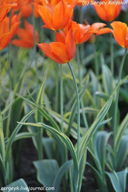 Tulipa Ballerina Design (9).JPG