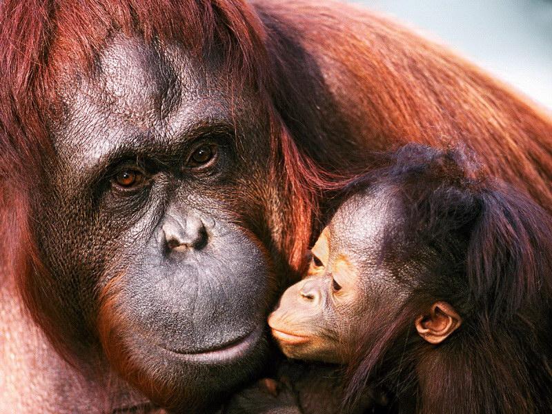 Сімейство мавп