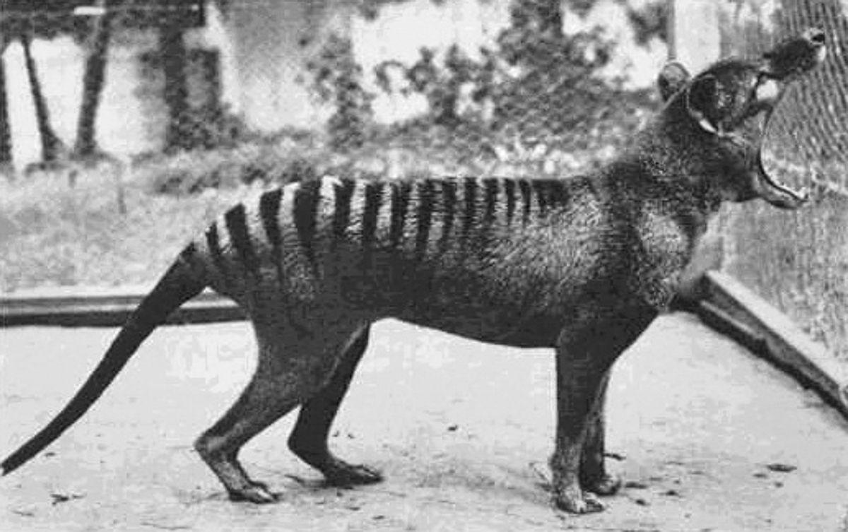 50 лет не было подтверждений существования сумчатых волков, поэтому в 1986 году вид объявили вымерши