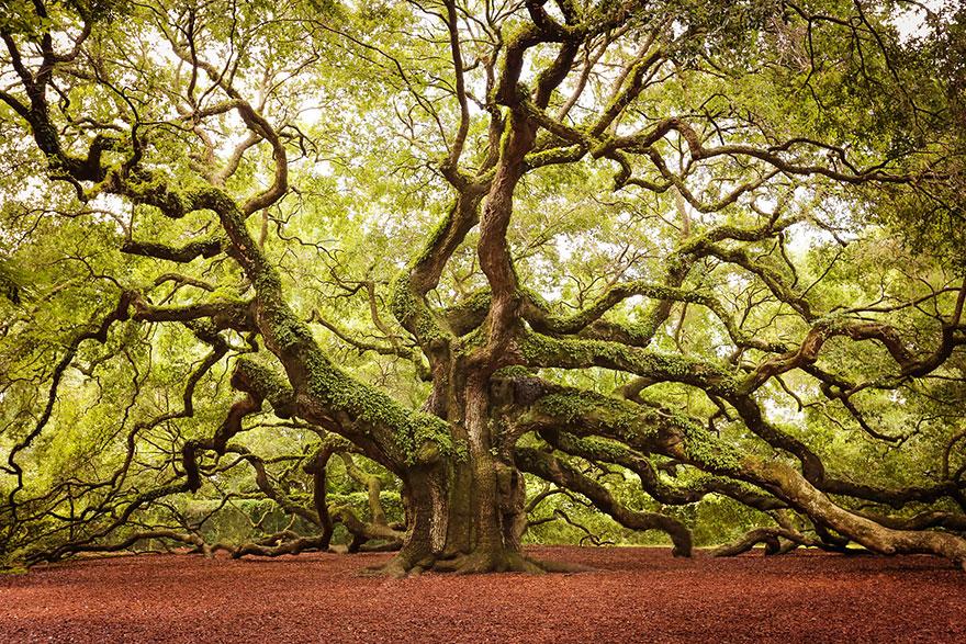 6. Ангельский дуб на острове Джона в Южной Каролине