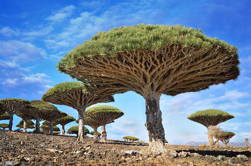 9. Драконово дерево, Йемен