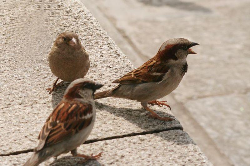 Ученые узнали, что проживание вгороде делает птиц агрессивнее