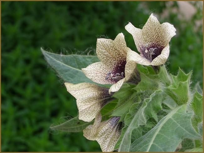 5. Белладонна Белладонну нередко называют сонная одурь. Об этом растении люди узнали еще 1500 лет до