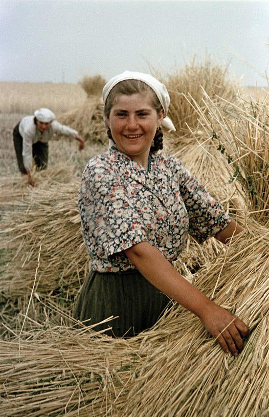 Сбор урожая пшеницы в украинском колхозе, 1950.