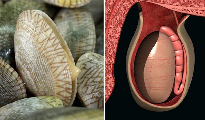 5. Моллюски — мужская половая железа Исследования показали, что моллюски действительно очень хороши