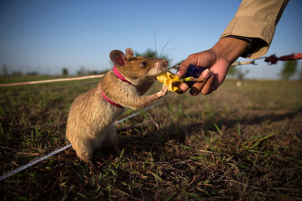 15. Крысы-саперы. Камбоджа, 9 июля 2015. (Фото Samrang Pring | Reuters):