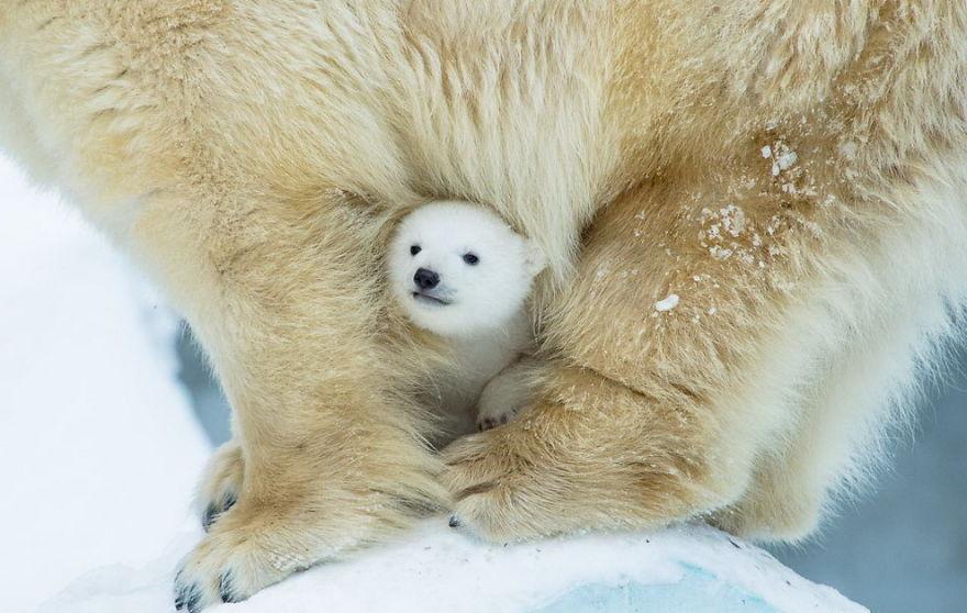 Ложкой снег мешая: милейшие мамы-медведицы учат медвежат уму-разуму (20 фото)