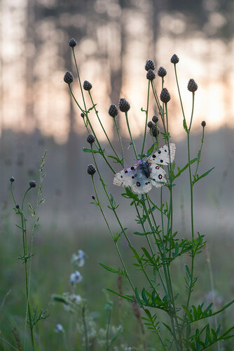 Аполлон (Parnassius apollo)  Автор фото: Владимир Брюхов