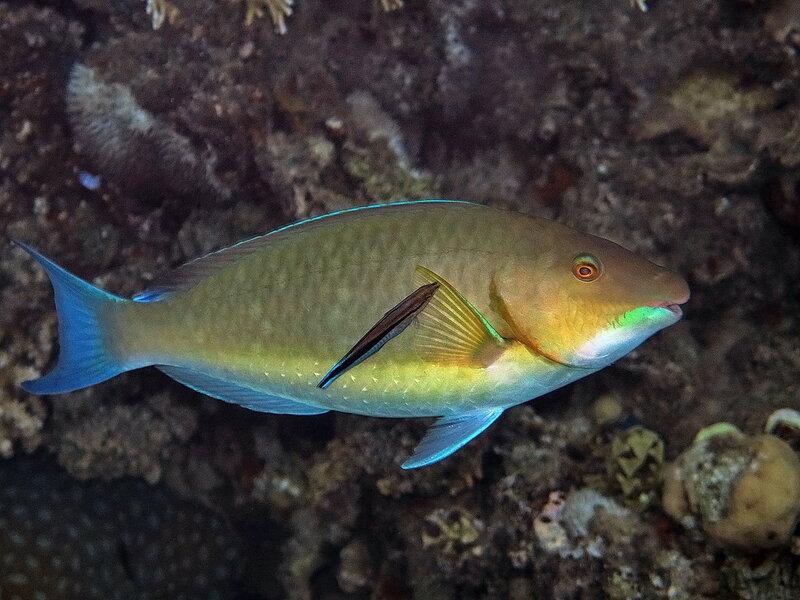 Гиппоскар-харид (Hipposcarus harid)