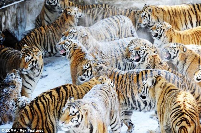 Стая амурских тигров расслабляется после сытного обеда 0 141af1 af496b7e orig
