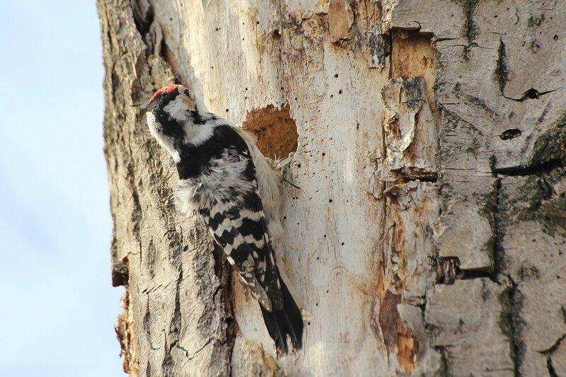 Малый пёстрый дятел (лат. Dendrocopos minor либо Picoides minor) выдалбливает и углубляет дупло для гнезда в старом тополе