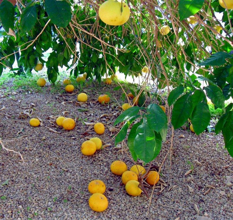 Грейпфрутовый рай