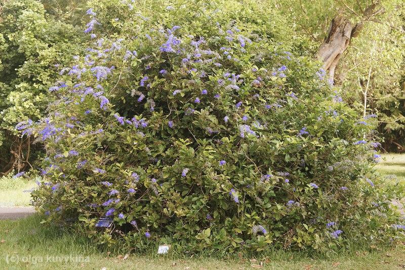 Петрея (Petrea volubilis)