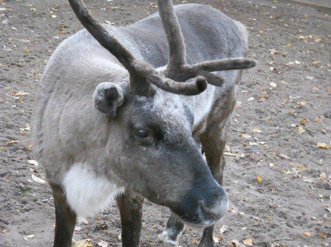Необычный зоопарк на Елагином острове (северный олень)