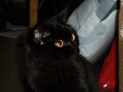 Британская короткошерстная кошка фотки